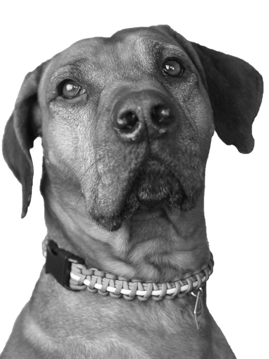 Ripley der Bürohund