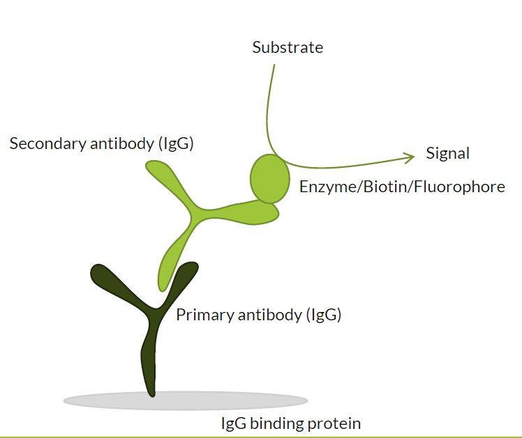 Funktionsprinzip des immunodetektierbaren WesternFroxx all-in-one Proteinmarkers